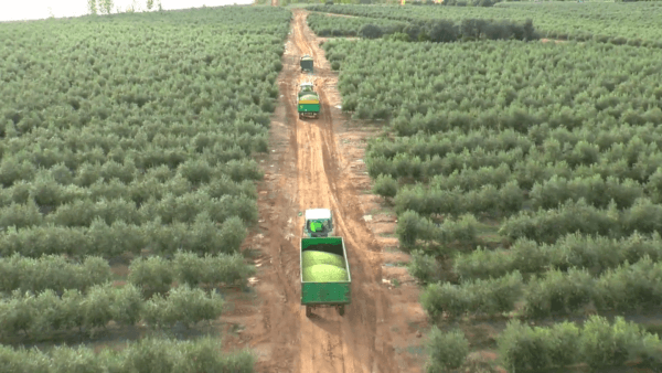 Harvesting olives - Volante